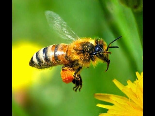 Лечение пчёлоужалением.