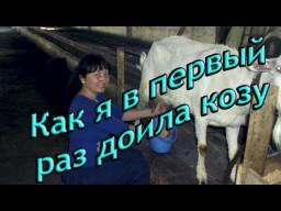 Как я в первый раз доила козу