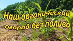 Наш органический огород без полива, собираем урожай