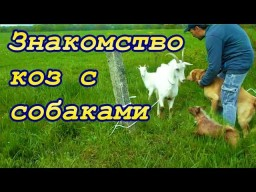 Знакомство коз с собаками