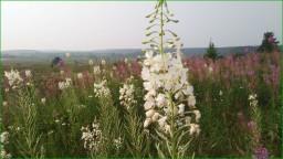 Иван-чай или кипрей в августе можно сделать из семян