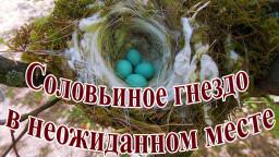 Соловьиное гнездо в неожиданном месте