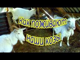 Как поживают наши козы