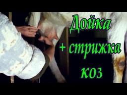 Дойка + стрижка коз