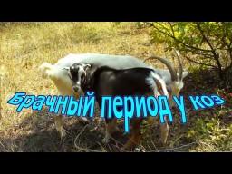 Брачный период у коз