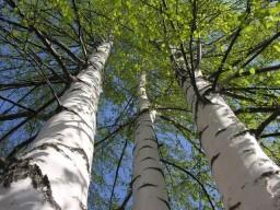 Что таит в себе берёзовая кора, и что знали наши предки?