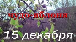 Чудо яблоня, первые зимние опята