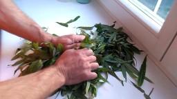 Как самому приготовить иван-чай - сбор ферментация и сушка иван чая