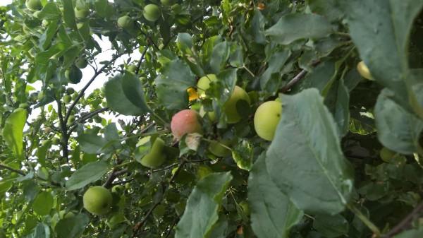 яблоки в августе