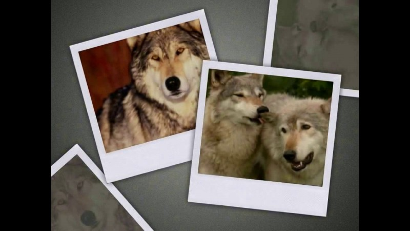 О Волках
