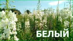 Белый Иван-чай